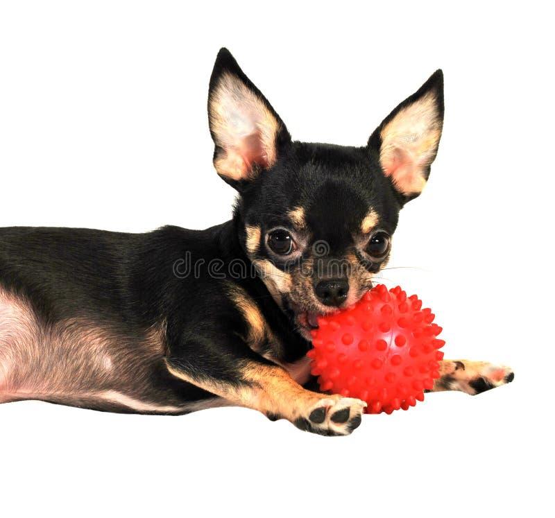 Μαύρο σκυλί Chihuahua στοκ φωτογραφία με δικαίωμα ελεύθερης χρήσης