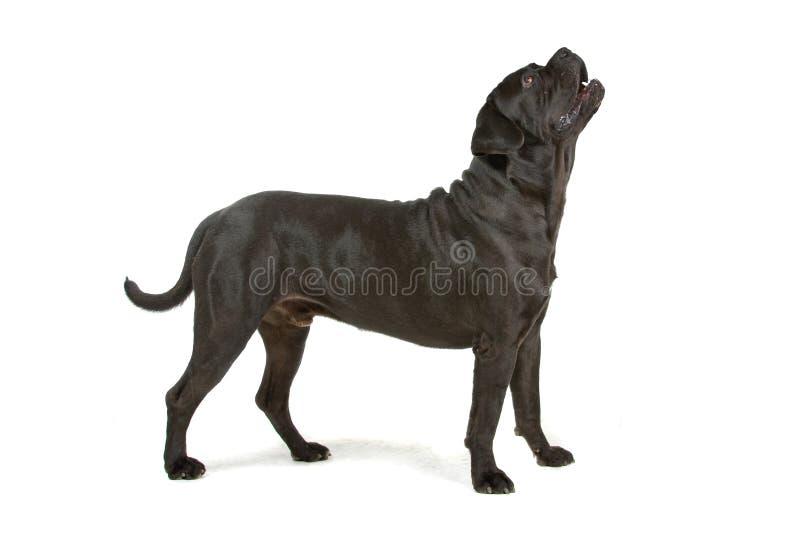 μαύρο σκυλί corso καλάμων στοκ εικόνα