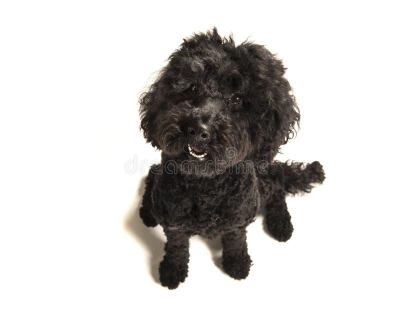 Μαύρο σκυλί labradoodle που φαίνεται επάνω βλέπω από μια υψηλή άποψη γωνίας επάνω στοκ φωτογραφία