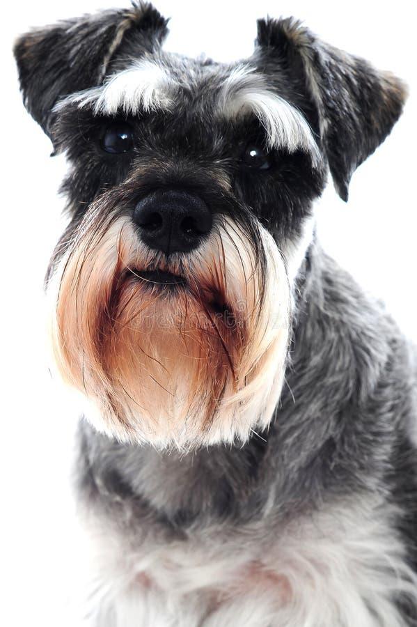 μαύρο σκυλί schnauzer στοκ φωτογραφία με δικαίωμα ελεύθερης χρήσης