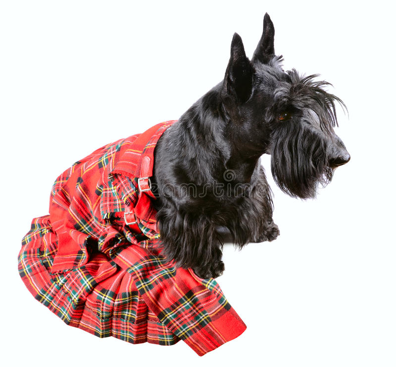Μαύρο σκυλί στη σκωτσέζικη φούστα στοκ εικόνες