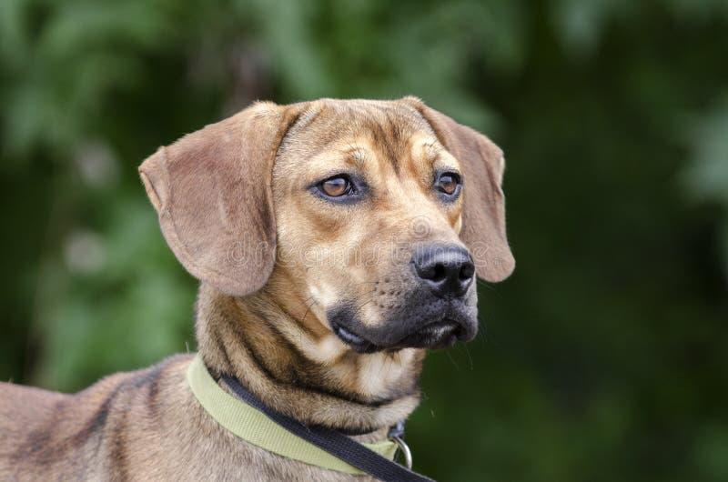 Μαύρο στοματικού Cur σκυλί φυλής κυνηγόσκυλων μικτό λαγωνικό στοκ φωτογραφία με δικαίωμα ελεύθερης χρήσης