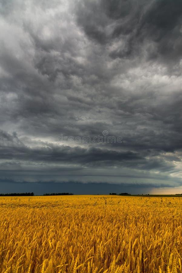 Μαύρο σύννεφο θύελλας επάνω από τον τομέα σίτου στοκ φωτογραφία