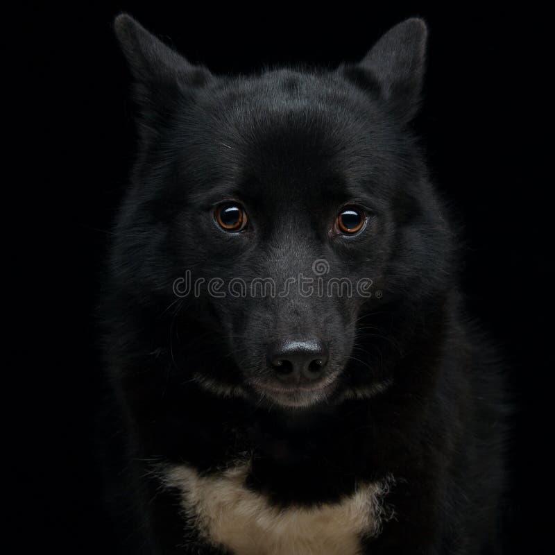 Μαύρο των Εσκιμώων σκυλί στοκ εικόνες με δικαίωμα ελεύθερης χρήσης