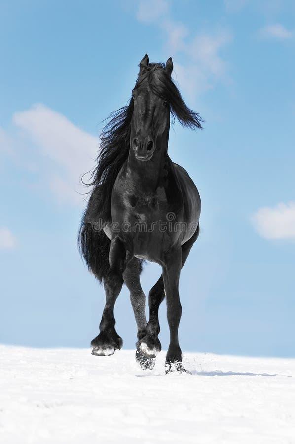 Μαύρο φρισλανδικό τρέξιμο τρεξιμάτων αλόγων το χειμώνα στοκ εικόνα