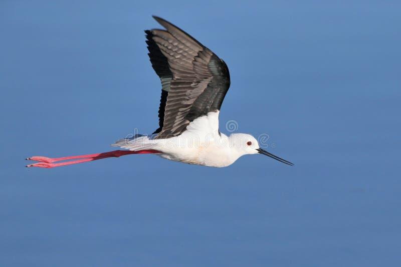 Μαύρο φτερωτό ξυλοπόδαρο στην πτήση flightin στοκ εικόνες