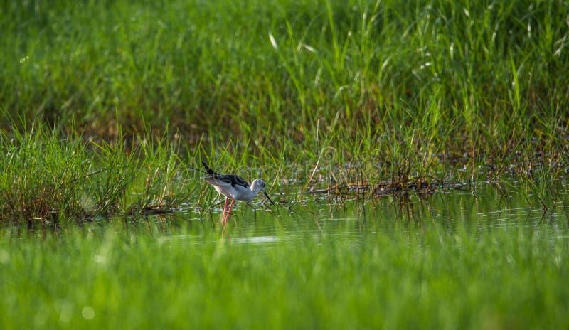 Μαύρο φτερωτό ξυλοπόδαρο στην αναζήτηση των τροφίμων στοκ φωτογραφίες