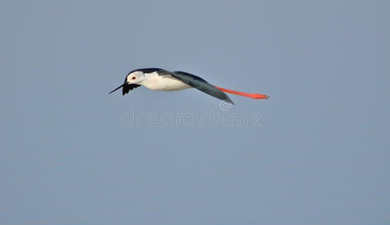 Μαύρο φτερωτό πουλί ξυλοποδάρων στοκ φωτογραφίες
