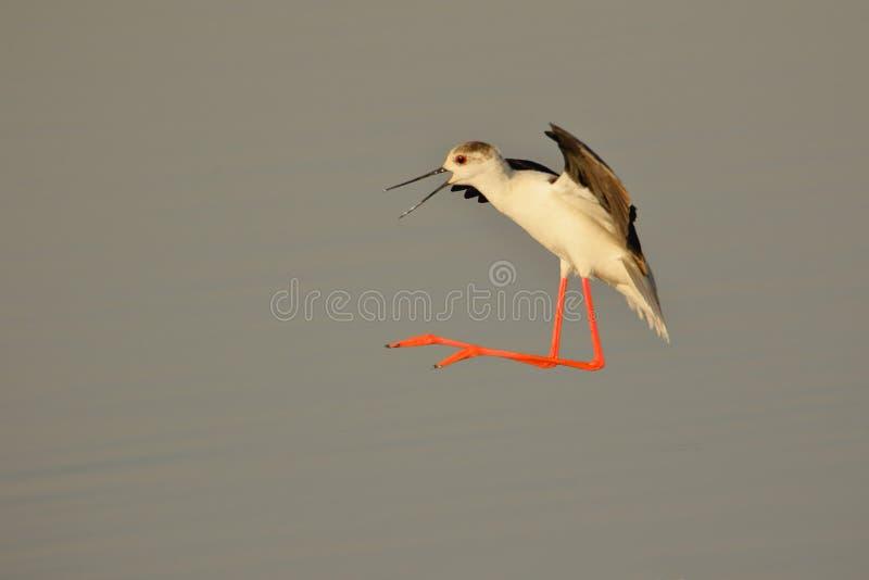 Μαύρο φτερωτό πουλί ξυλοποδάρων στοκ φωτογραφία με δικαίωμα ελεύθερης χρήσης