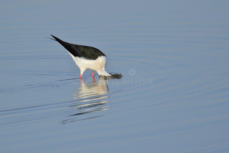 Μαύρο φτερωτό πουλί ξυλοποδάρων που ψάχνει τα τρόφιμα στοκ φωτογραφίες με δικαίωμα ελεύθερης χρήσης