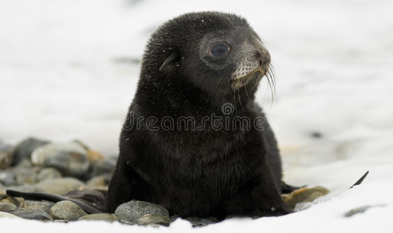 μαύρο χιόνι σφραγίδων κου&tau στοκ φωτογραφίες με δικαίωμα ελεύθερης χρήσης