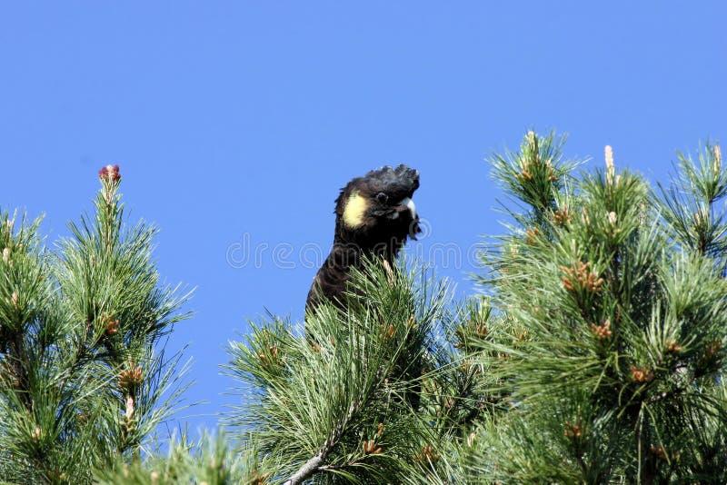 μαύρο cockatoo στοκ φωτογραφίες