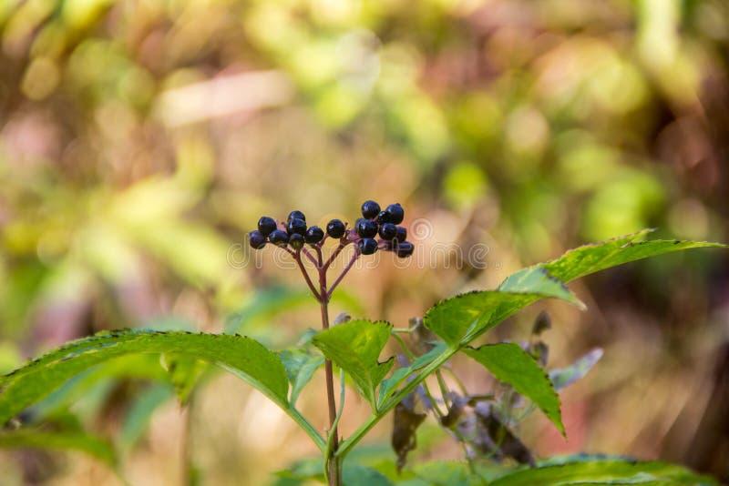 Μαύρο elderberry φρούτων συστάδων καλλιεργεί την άνοιξη στοκ φωτογραφίες