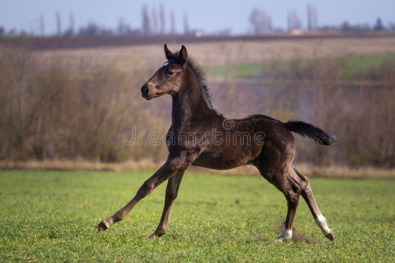 Μαύρο foal στοκ εικόνες