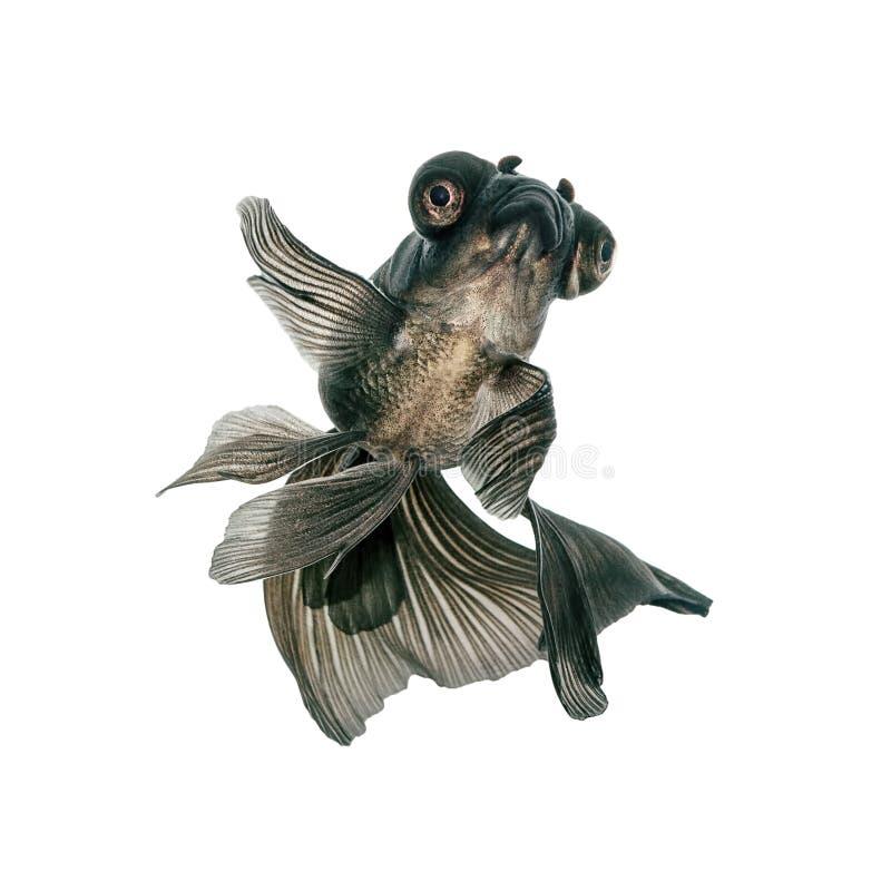 Μαύρο Goldfish στο λευκό στοκ εικόνα με δικαίωμα ελεύθερης χρήσης