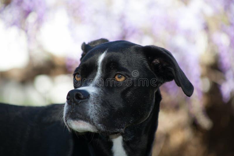 Μαύρο greyhound μπόξερ ανάμιξε το θολωμένο σχεδιάγραμμα υπόβαθρο σκυλιών φυλής στοκ φωτογραφία με δικαίωμα ελεύθερης χρήσης