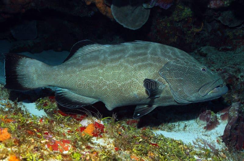 μαύρο grouper στοκ εικόνα