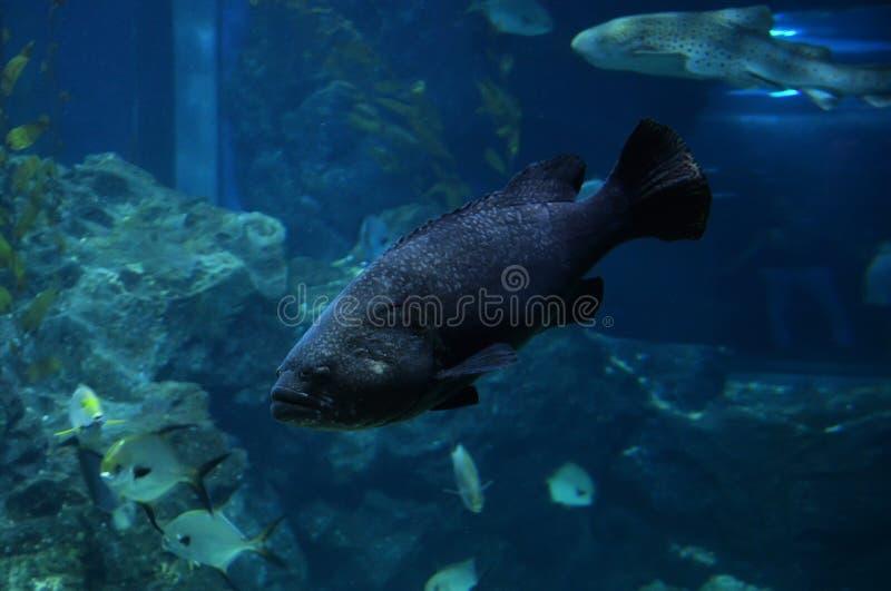 μαύρο grouper στοκ εικόνες