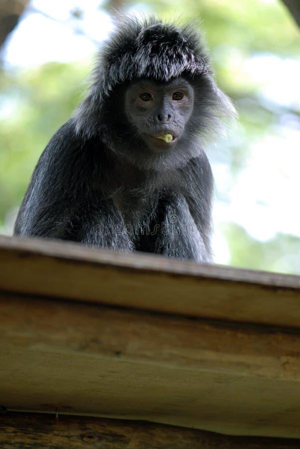 μαύρο javan langur στοκ φωτογραφίες με δικαίωμα ελεύθερης χρήσης