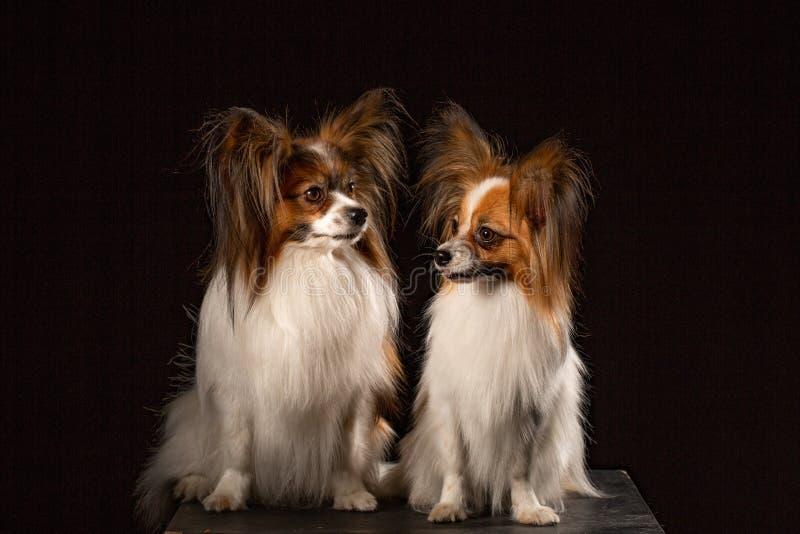 μαύρο klaudina papillon ricky δύο σκυλιών διασταύρωσης ανασκόπησης agrias στοκ φωτογραφία με δικαίωμα ελεύθερης χρήσης