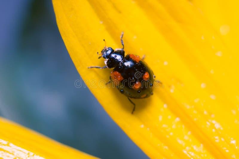 Μαύρο ladybug στο πέταλο ενός κίτρινου λουλουδιού Μαλακή εστίαση, επιλεγμένη εστίαση στοκ εικόνα με δικαίωμα ελεύθερης χρήσης