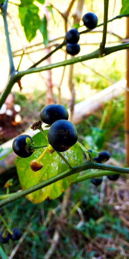 Μαύρο leunca στοκ εικόνες