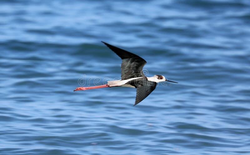 Μαύρο necked πουλί ποδιών ξυλοποδάρων μακρύ στο παράκτιο αναφερόμενο στα πτηνά πέταγμα της νότιας Γαλλίας και την αλιεία στον ωκε στοκ εικόνες