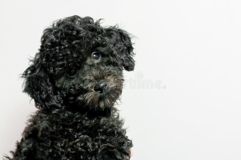 Μαύρο poodle κουταβιών στο άσπρο υπόβαθρο στοκ εικόνα
