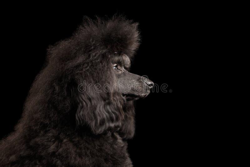 Μαύρο poodle σκυλί στο απομονωμένο υπόβαθρο στοκ εικόνα με δικαίωμα ελεύθερης χρήσης