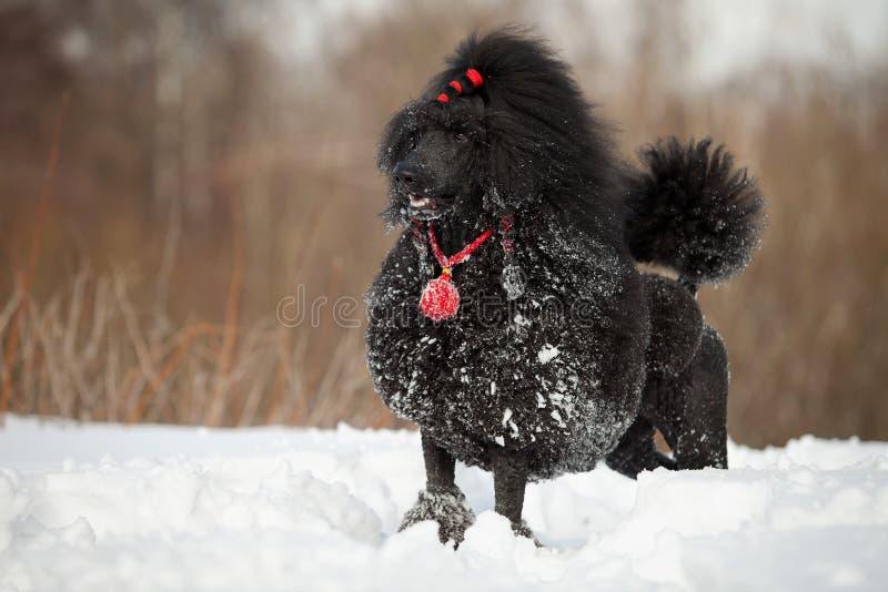 μαύρο poodle στοκ φωτογραφία με δικαίωμα ελεύθερης χρήσης