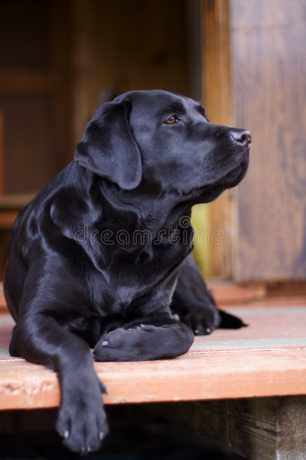 μαύρο purebred του Λαμπραντόρ στοκ φωτογραφίες με δικαίωμα ελεύθερης χρήσης