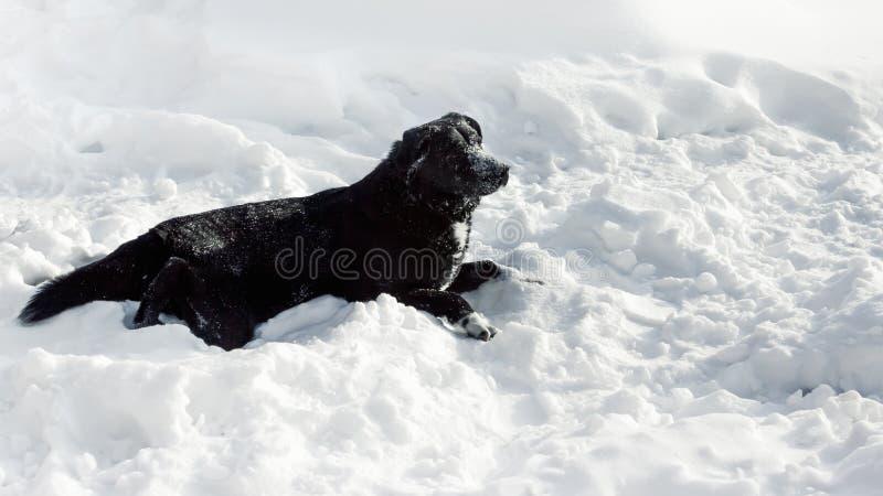 Μαύρο Retriever του Λαμπραντόρ μισό-φυλής σκυλιών στο χιόνι στοκ φωτογραφίες με δικαίωμα ελεύθερης χρήσης