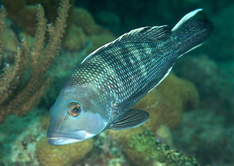 μαύρο seabass στοκ φωτογραφία με δικαίωμα ελεύθερης χρήσης