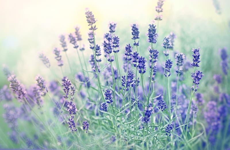Μαλακή εστίαση στο όμορφο lavender λουλούδι στοκ εικόνες