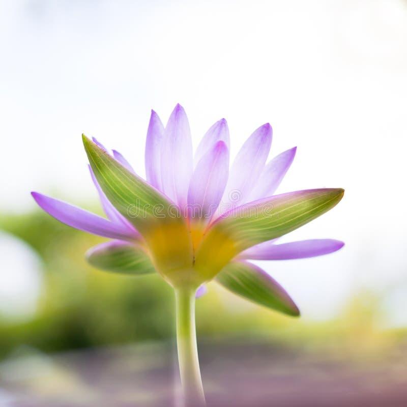 Μαλακή εστίαση του κατώτερου λουλουδιού ή του νερού Lotus άποψης όμορφου πορφυρού στοκ φωτογραφίες με δικαίωμα ελεύθερης χρήσης