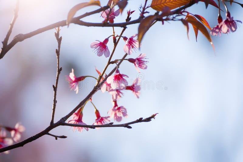 Μαλακό άνθος κερασιών εστίασης ή λουλούδι Sakura στη θαμπάδα φύσης backgr στοκ φωτογραφίες