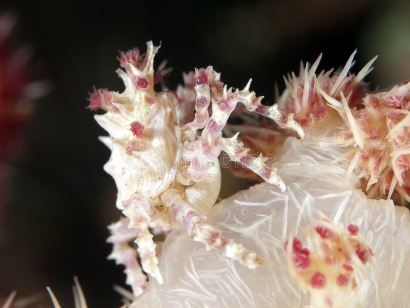 Μαλακό καβούρι κοραλλιών στοκ φωτογραφία με δικαίωμα ελεύθερης χρήσης