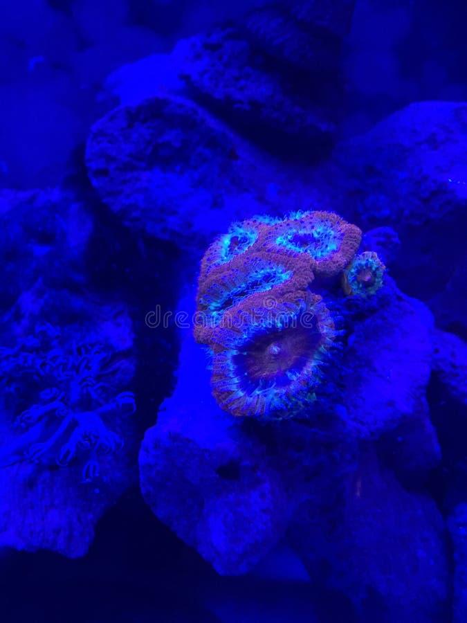 Μαλακό κοράλλι κάτω από το UV φως στοκ φωτογραφίες
