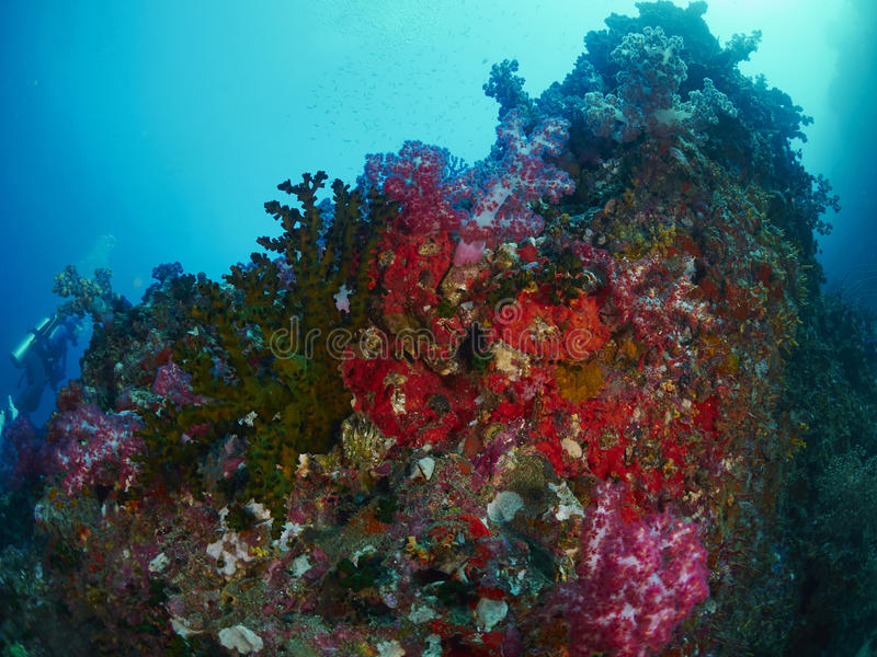 Μαλακό κοράλλι με το δύτη στοκ φωτογραφία με δικαίωμα ελεύθερης χρήσης
