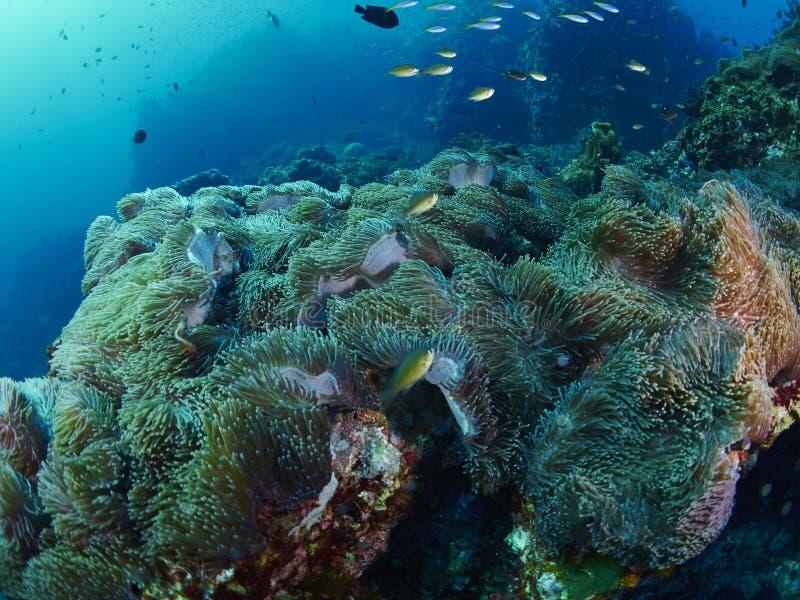 Μαλακό κοράλλι με το δύτη στοκ φωτογραφία