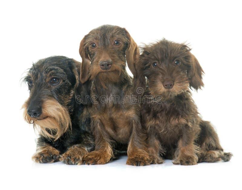 Μαλλιαρό dachshund οικογενειακών καλωδίων στοκ εικόνες με δικαίωμα ελεύθερης χρήσης