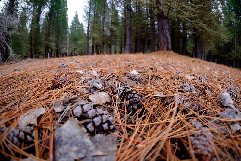 Μείωση Pinecone στο έδαφος στοκ φωτογραφία με δικαίωμα ελεύθερης χρήσης