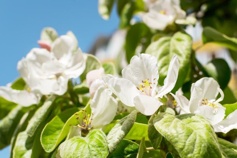 Μεγάλα άσπρα λουλούδια του κυδωνιού στο θολωμένο κλίμα των πράσινων φύλλων και του μπλε ουρανού με τον ηλιόλουστο ήλιο άνοιξη Οπω στοκ φωτογραφίες με δικαίωμα ελεύθερης χρήσης