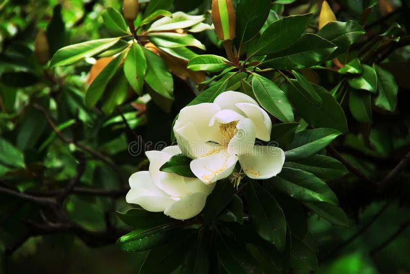 Μεγάλα άσπρα λουλούδια Magnolia grandiflora Νότιος κόλπος magnolia ή ταύρων στην άνθιση στοκ φωτογραφία με δικαίωμα ελεύθερης χρήσης