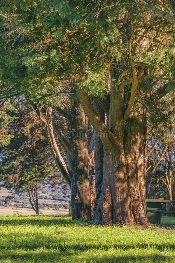 Μεγάλα δέντρα στην επαρχία, Maldonado, Ουρουγουάη στοκ εικόνα