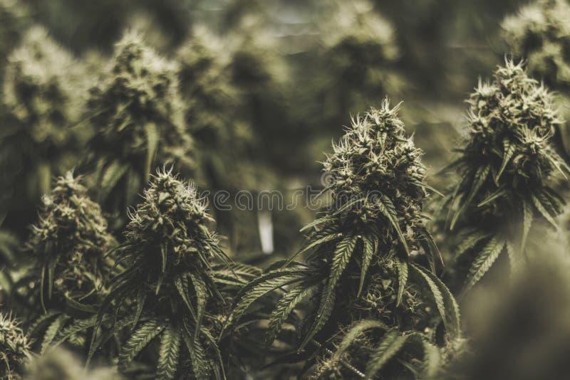 Μεγάλα ιατρικά λουλούδια μαριχουάνα με τη θαμπάδα υποβάθρου στοκ εικόνες