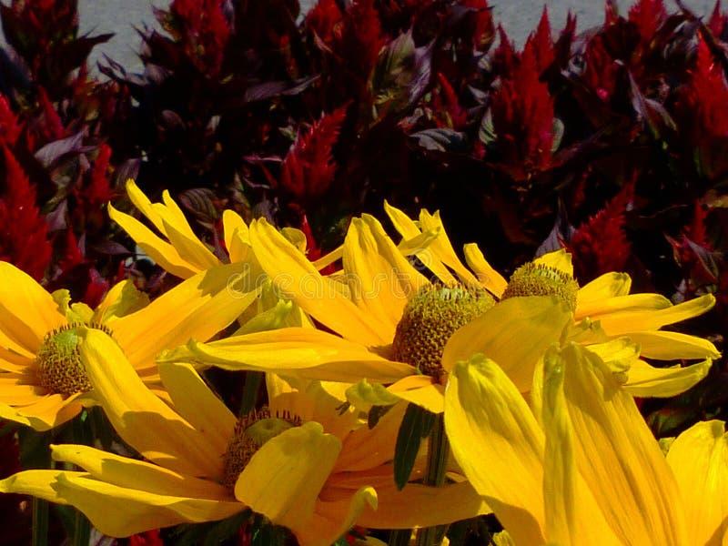Μεγάλα κίτρινα πέταλα μαργαριτών με βαθιά - κόκκινα λαμπρά κόκκινα λουλούδια στο υπόβαθρο στοκ φωτογραφίες με δικαίωμα ελεύθερης χρήσης