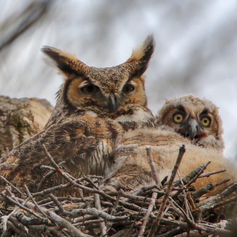 Μεγάλα κερασφόρα κουκουβάγια και owlet στοκ εικόνες με δικαίωμα ελεύθερης χρήσης