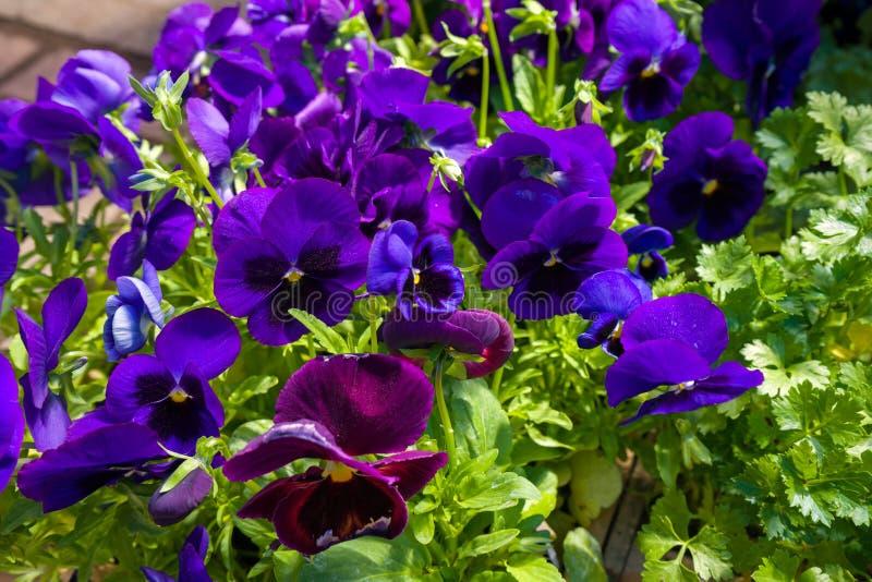Μεγάλα λουλούδια wittrociana Viola, pansies στην αγορά λουλουδιών στοκ φωτογραφίες