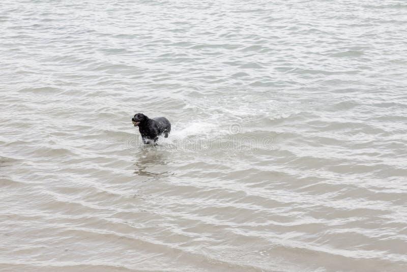 Μεγάλα μαύρα τρεξίματα σκυλιών στο νερό που κρατά μια σφαίρα στο mounth του στοκ εικόνες
